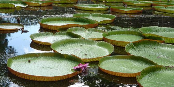 Botanic Garden Pamplemousse