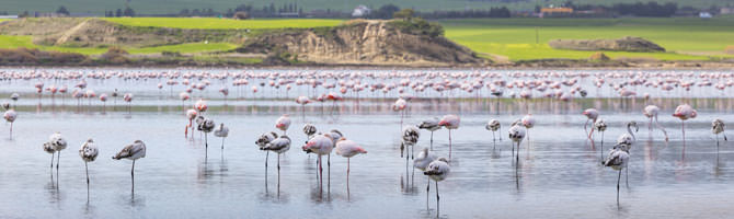 Flamingos Salzsee Larnaca Zypern
