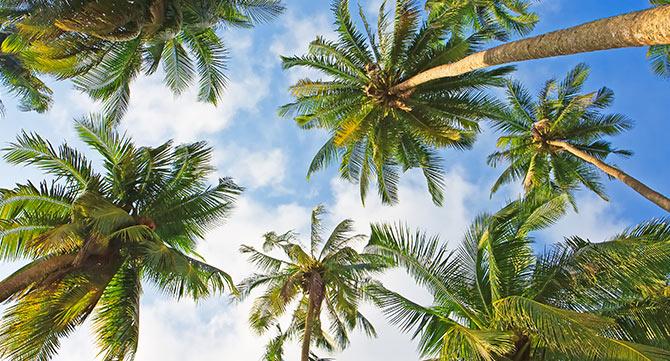 palmen_ohne_nüsse