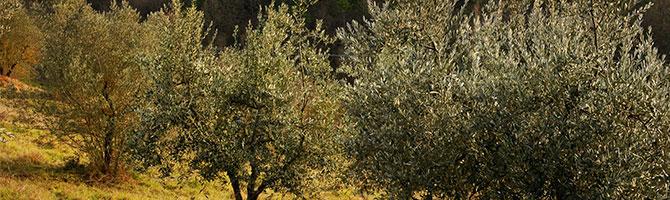 670x200_post-olivenbäume