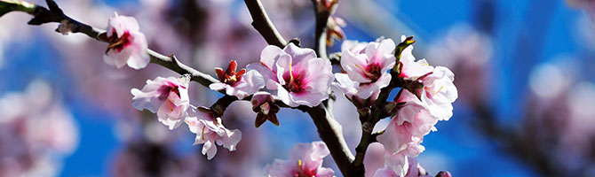 670x200_mandelblüten